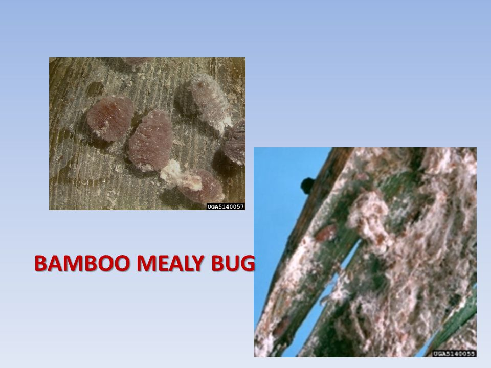 BAMBOO MEALY BUG