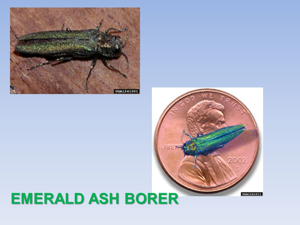First found in Orange County, Florida, in 2002.Only infests bamboo.