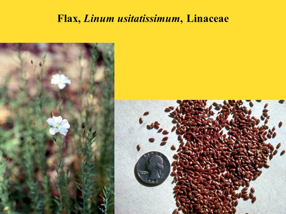 Flax, Linum usitatissimum, Linaceae