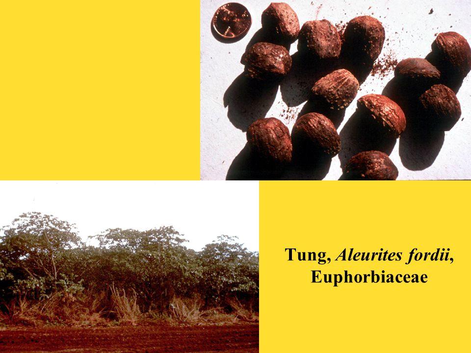 Tung, Aleurites fordii, Euphorbiaceae