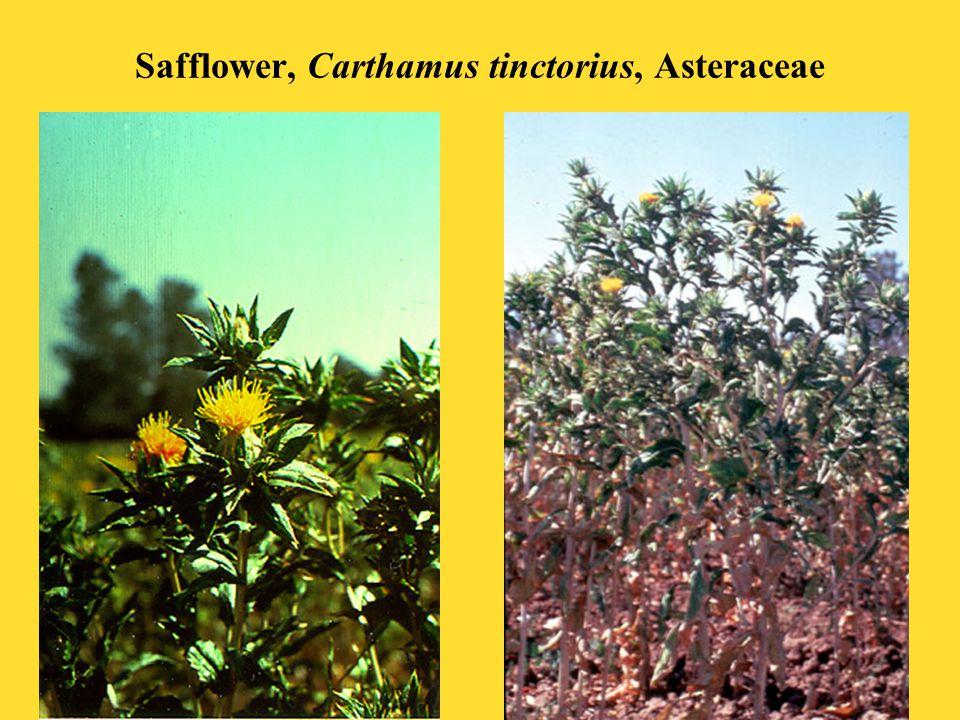 Safflower, Carthamus tinctorius, Asteraceae