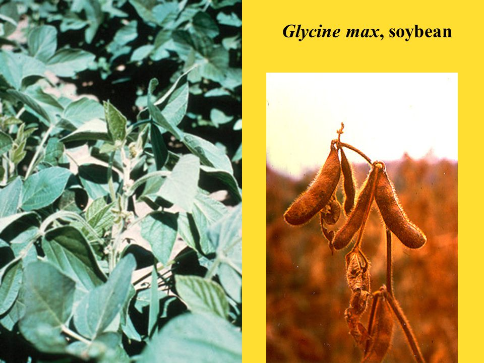 Glycine max, soybean
