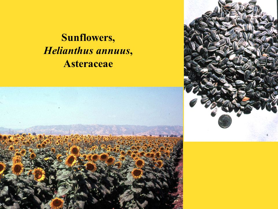 Sunflowers, Helianthus annuus, Asteraceae