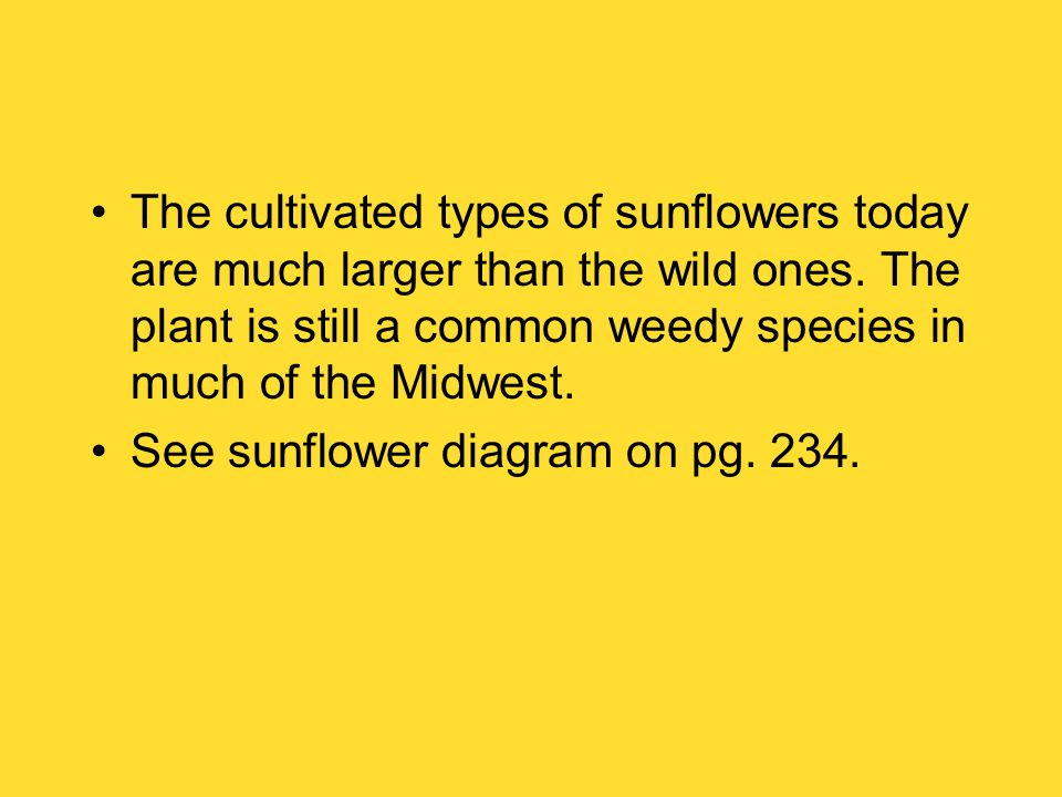 The cultivated types of sunflowers today are much larger than the wild ones.