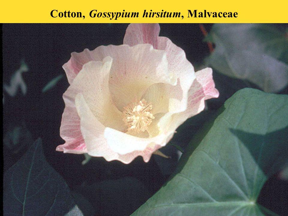 Cotton, Gossypium hirsitum, Malvaceae