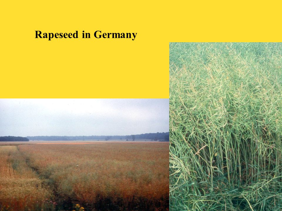 Rapeseed in Germany