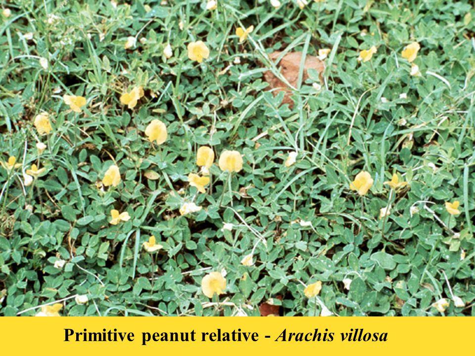 Primitive peanut relative - Arachis villosa