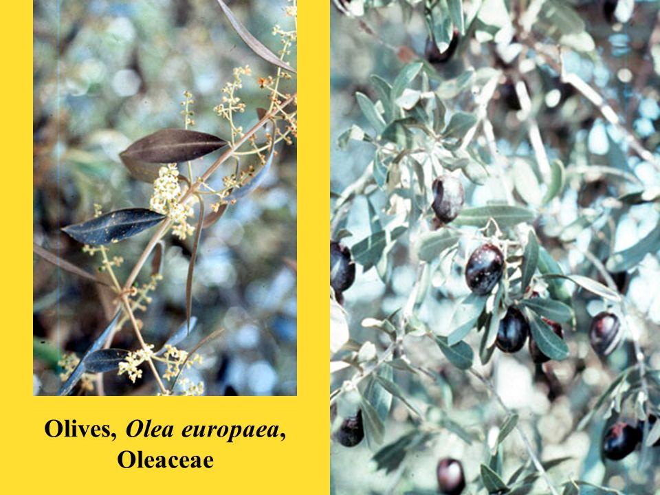 Olives, Olea europaea, Oleaceae