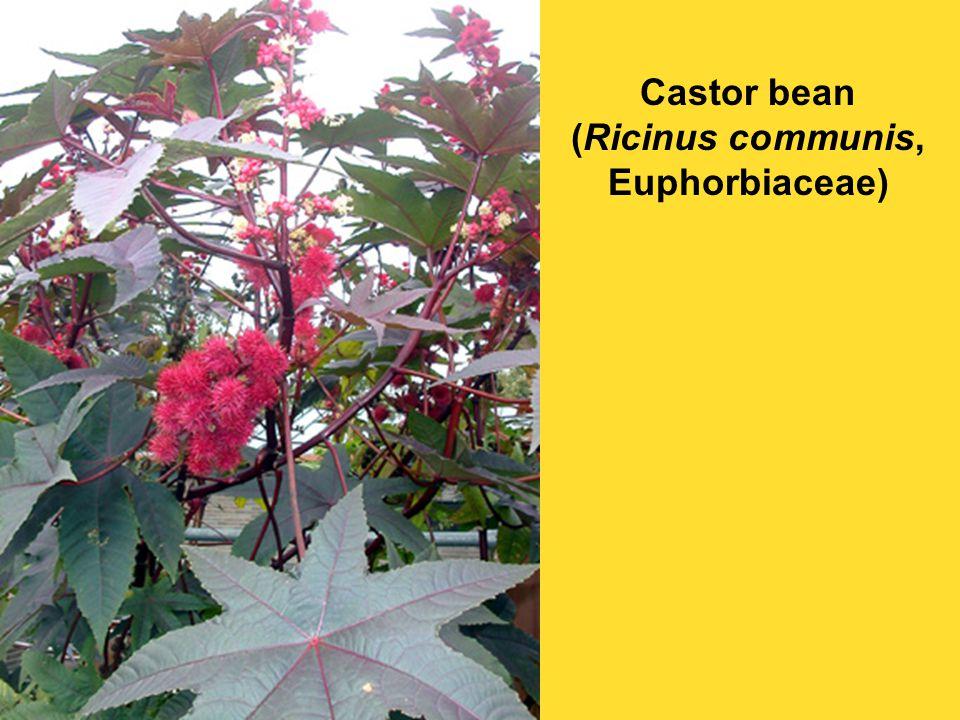 Castor bean (Ricinus communis, Euphorbiaceae)