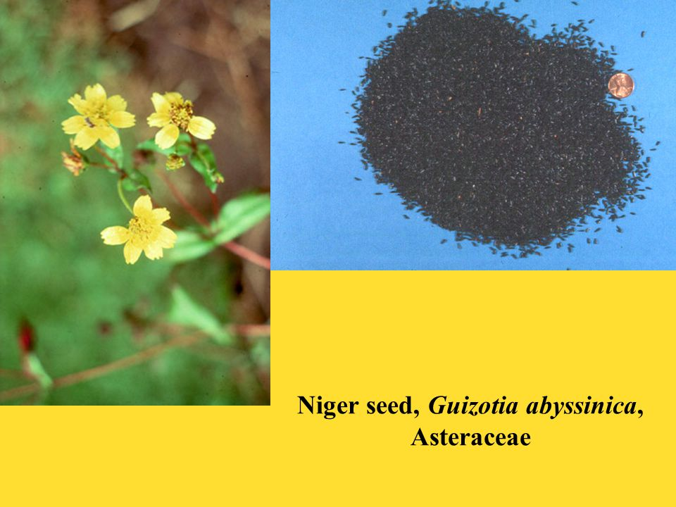 Niger seed, Guizotia abyssinica, Asteraceae