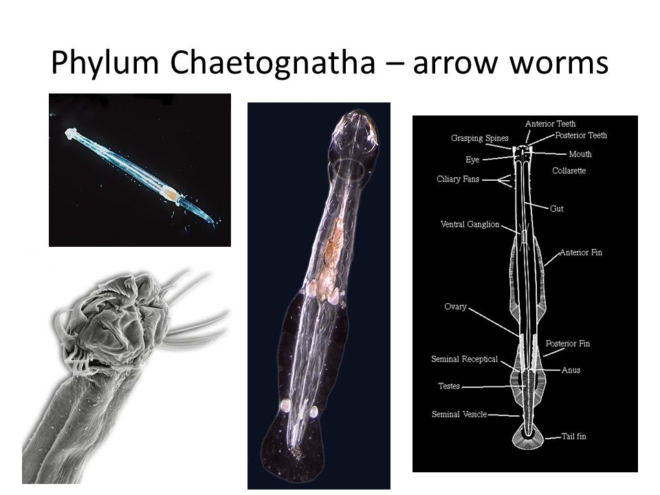 Phylum Chaetognatha – arrow worms