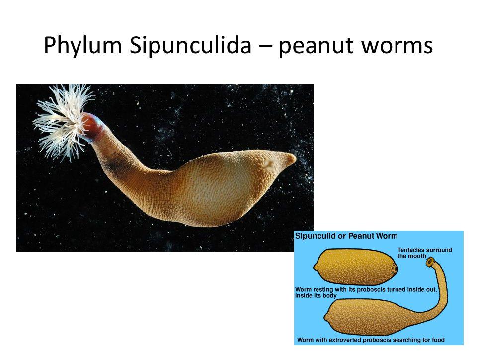 Phylum Sipunculida – peanut worms