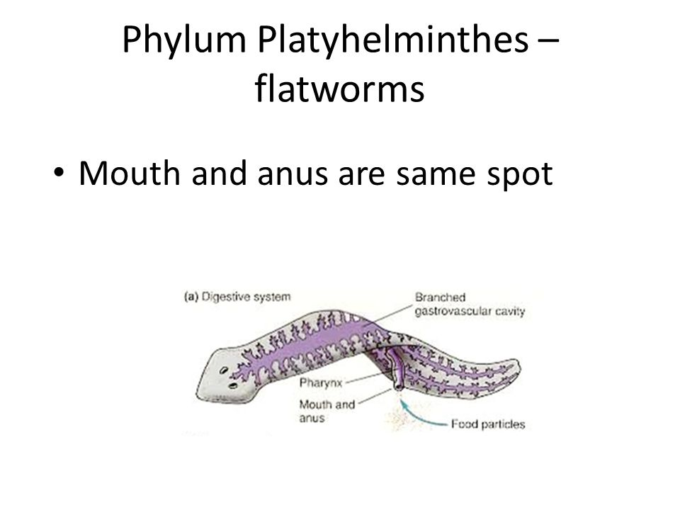 Phylum Platyhelminthes – flatworms Mouth and anus are same spot