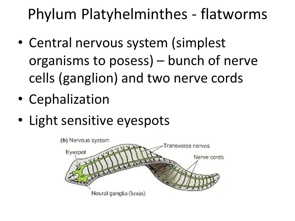 Phylum Platyhelminthes - flatworms Central nervous system (simplest organisms to posess) – bunch of nerve cells (ganglion) and two nerve cords Cephalization Light sensitive eyespots
