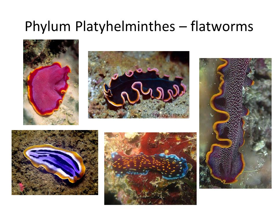 Phylum Platyhelminthes – flatworms