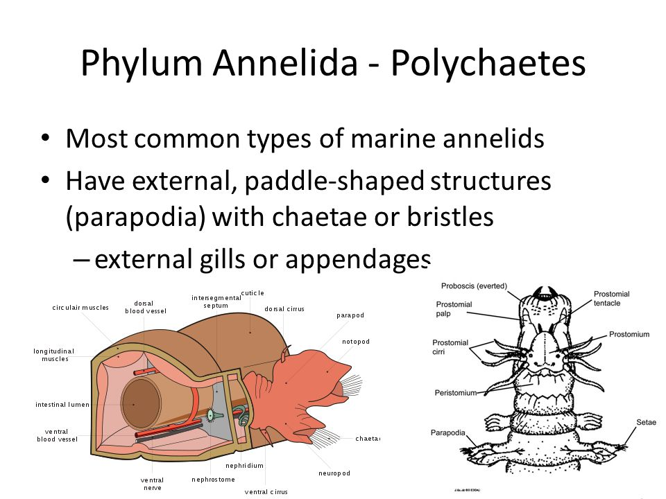 Phylum Annelida - Polychaetes Most common types of marine annelids Have external, paddle-shaped structures (parapodia) with chaetae or bristles – exte