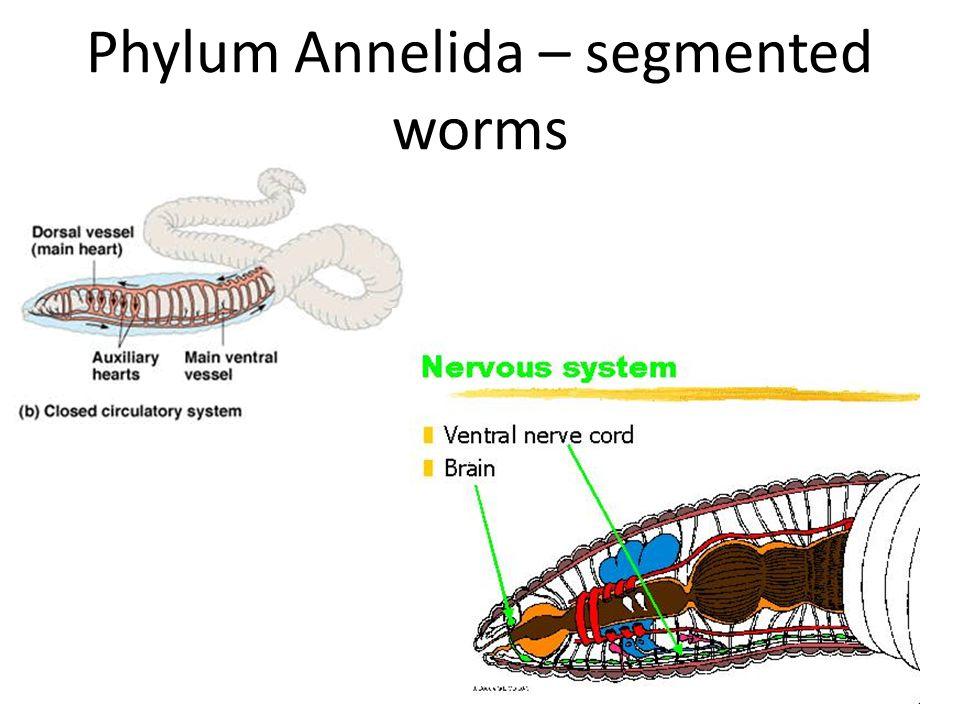 Phylum Annelida – segmented worms