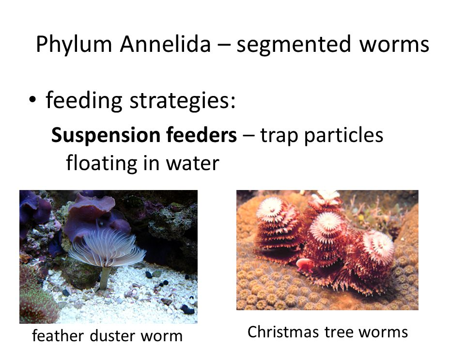 Phylum Annelida – segmented worms feeding strategies: Suspension feeders – trap particles floating in water feather duster worm Christmas tree worms