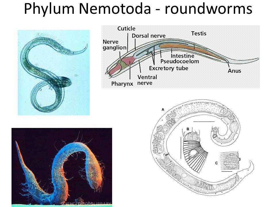 Phylum Nemotoda - roundworms