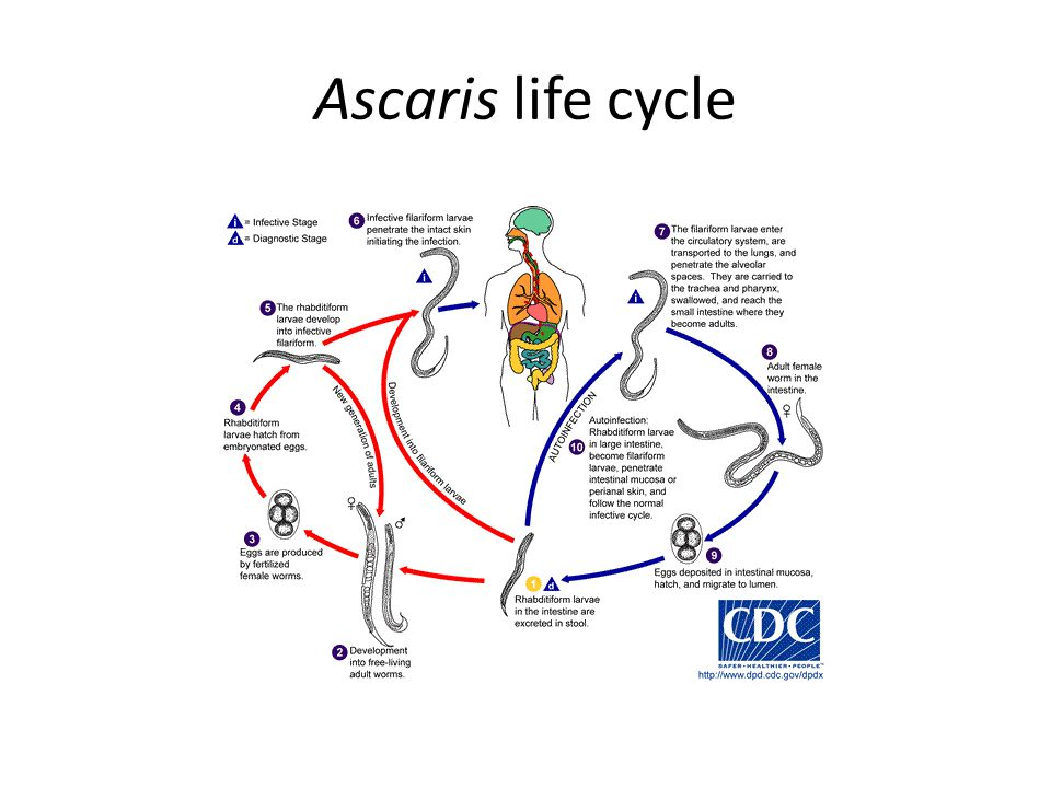 Ascaris life cycle