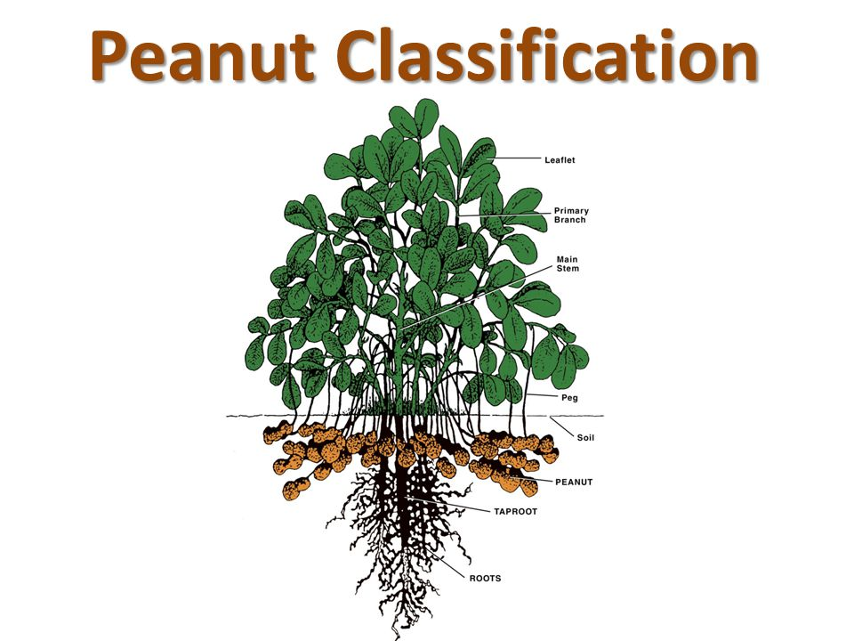 Peanut Classification