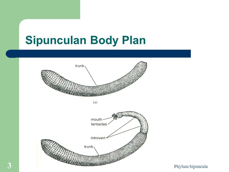 Phylum Sipuncula 3 Sipunculan Body Plan