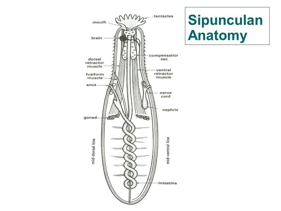 Sipunculan Anatomy