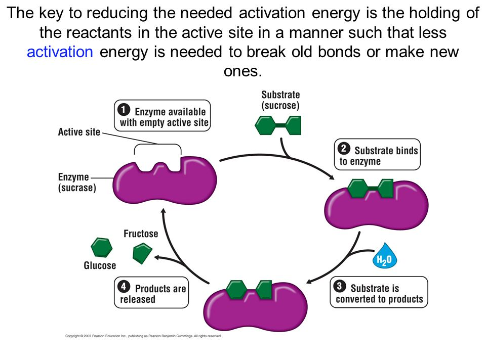 The key to reducing the needed activation energy is the holding of the reactants in the active site in a manner such that less activation energy is needed to break old bonds or make new ones.