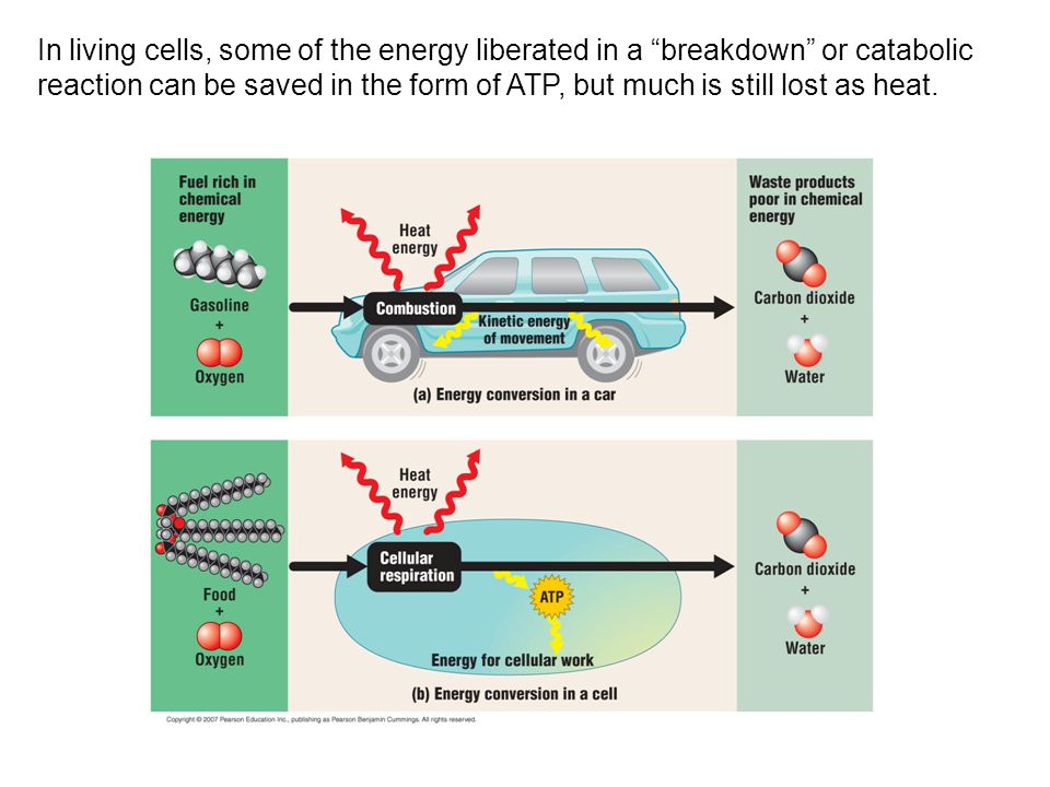 """In living cells, some of the energy liberated in a """"breakdown"""" or catabolic reaction can be saved in the form of ATP, but much is still lost as heat."""
