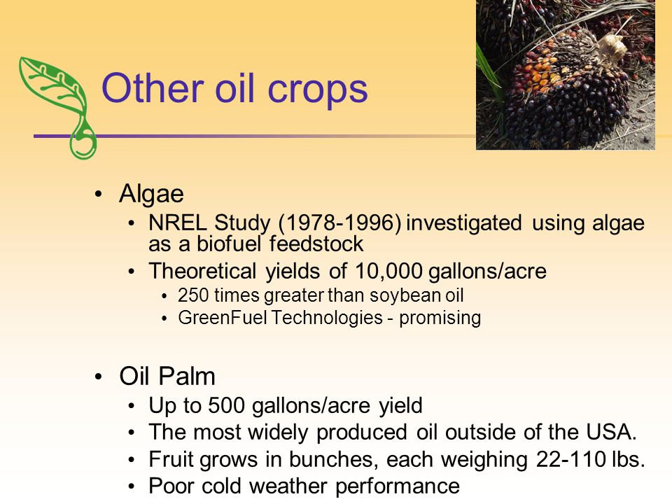 Other oil crops Algae NREL Study (1978-1996) investigated using algae as a biofuel feedstock Theoretical yields of 10,000 gallons/acre 250 times greater than soybean oil GreenFuel Technologies - promising Oil Palm Up to 500 gallons/acre yield The most widely produced oil outside of the USA.