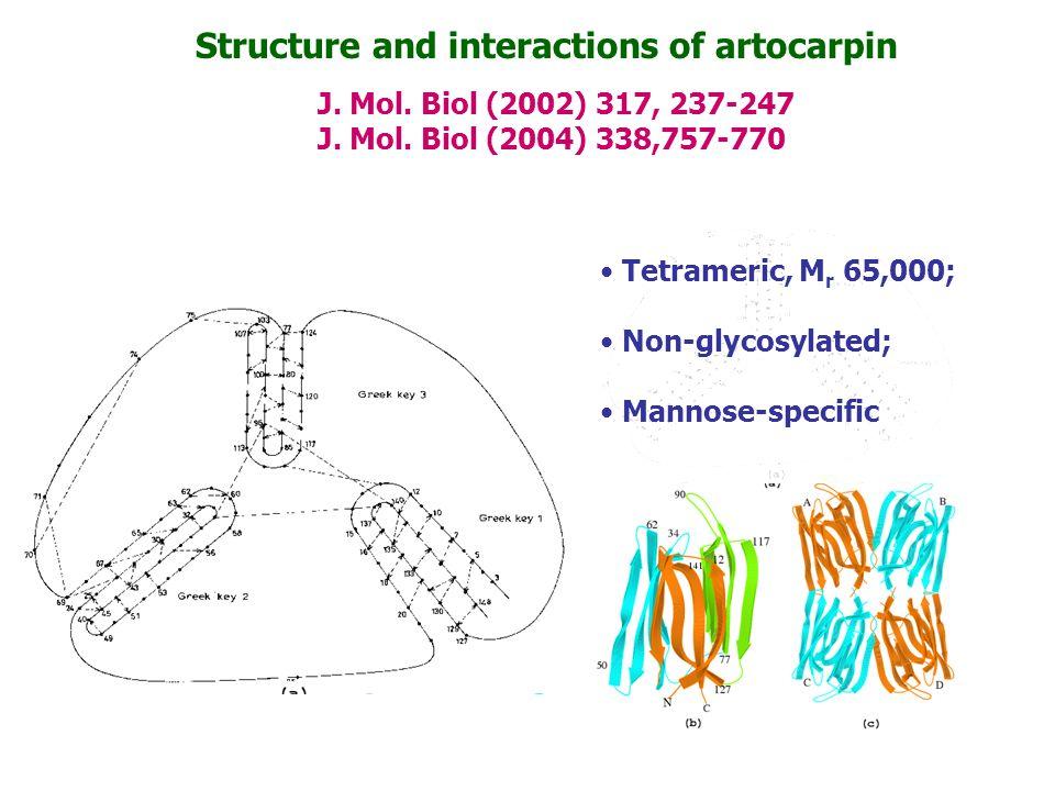 Structure and interactions of artocarpin J. Mol. Biol (2002) 317, 237-247 J. Mol. Biol (2004) 338,757-770 Tetrameric, M r 65,000; Non-glycosylated; Ma