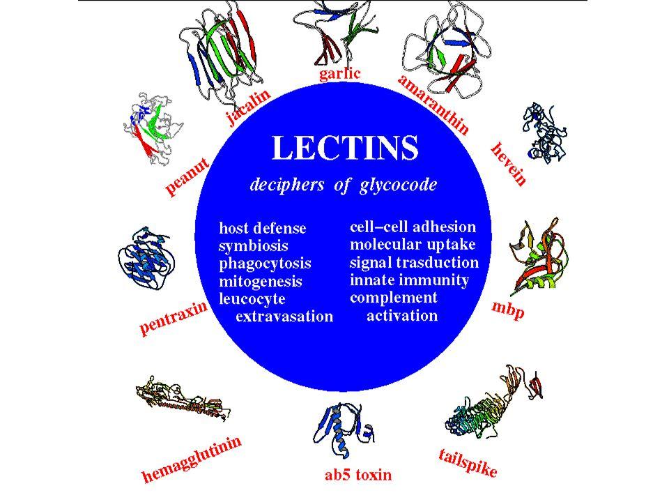 Plant Lectin Families I Legume lectins Jelly roll II Cereal lectins Hevein domain III Moraceae lectins  -prism I IV Bulb lectins  -prism II V Ricin, Amaranthin etc  -trefoil