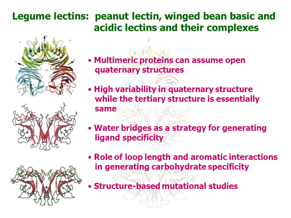 Legume lectins: peanut lectin, winged bean basic and acidic lectins and their complexes Multimeric proteins can assume open quaternary structures High