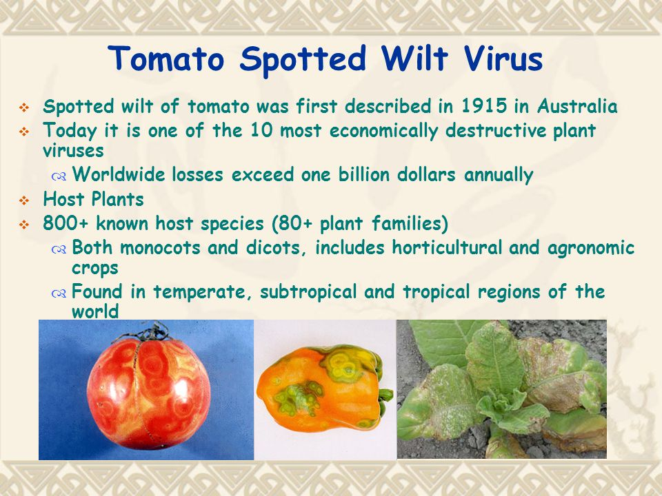 Tomato Spotted Wilt Virus  Spotted wilt of tomato was first described in 1915 in Australia  Today it is one of the 10 most economically destructive