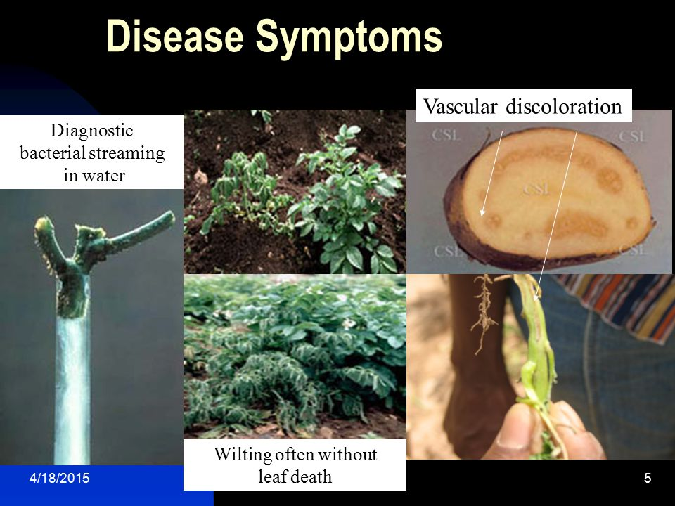 4/18/20155 Disease Symptoms Wilting often without leaf death Vascular discoloration Diagnostic bacterial streaming in water