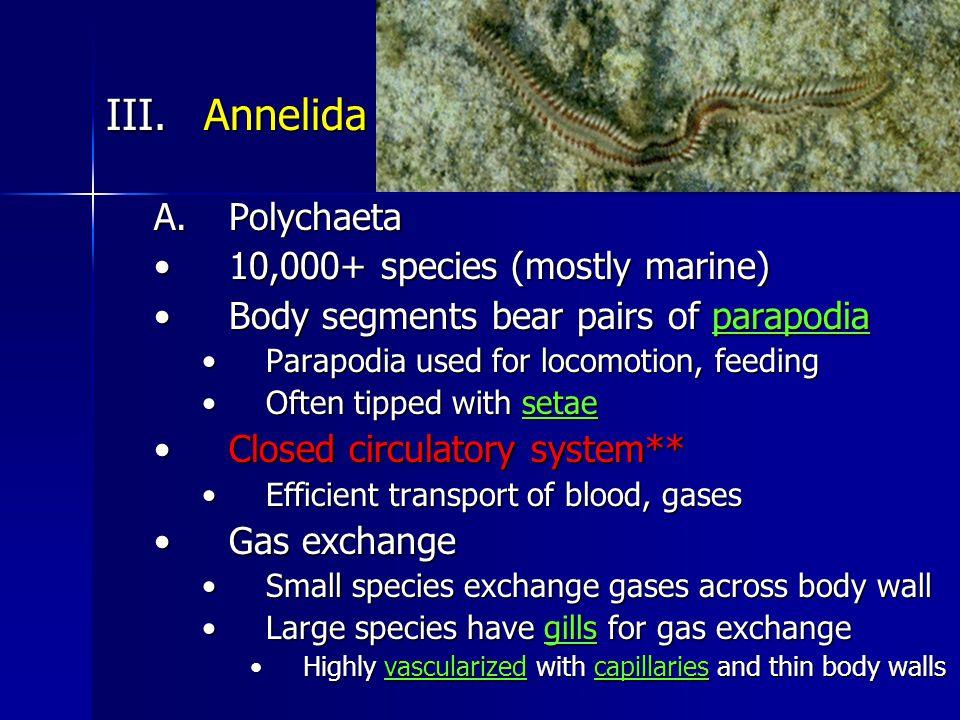 III. Annelida A.Polychaeta 10,000+ species (mostly marine)10,000+ species (mostly marine) Body segments bear pairs of parapodiaBody segments bear pair