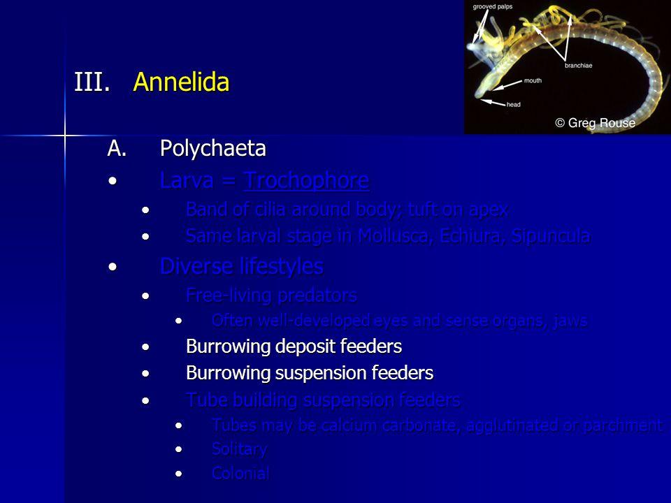 III.Annelida A.Polychaeta Larva = TrochophoreLarva = Trochophore Band of cilia around body; tuft on apexBand of cilia around body; tuft on apex Same larval stage in Mollusca, Echiura, SipunculaSame larval stage in Mollusca, Echiura, Sipuncula Diverse lifestylesDiverse lifestyles Free-living predatorsFree-living predators Often well-developed eyes and sense organs, jawsOften well-developed eyes and sense organs, jaws Burrowing deposit feedersBurrowing deposit feeders Burrowing suspension feedersBurrowing suspension feeders Tube building suspension feedersTube building suspension feeders Tubes may be calcium carbonate, agglutinated or parchmentTubes may be calcium carbonate, agglutinated or parchment SolitarySolitary ColonialColonial
