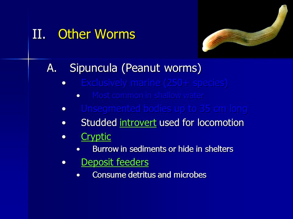 II.Other Worms A.Sipuncula (Peanut worms) Exclusively marine (250+ species)Exclusively marine (250+ species) Most common in shallow waterMost common in shallow water Unsegmented bodies up to 35 cm longUnsegmented bodies up to 35 cm long Studded introvert used for locomotionStudded introvert used for locomotion CrypticCryptic Burrow in sediments or hide in sheltersBurrow in sediments or hide in shelters Deposit feedersDeposit feeders Consume detritus and microbesConsume detritus and microbes