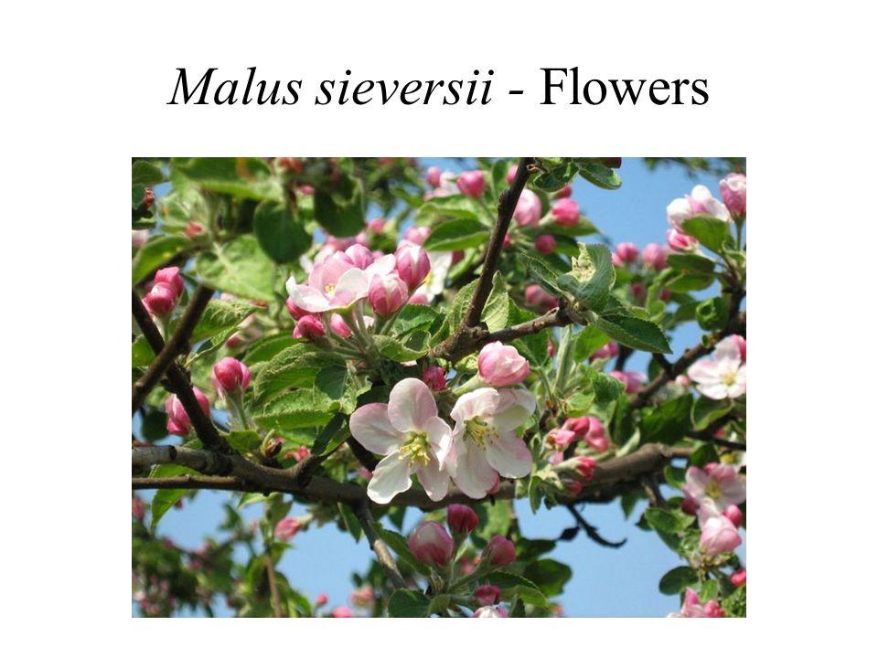 Malus sieversii - Flowers