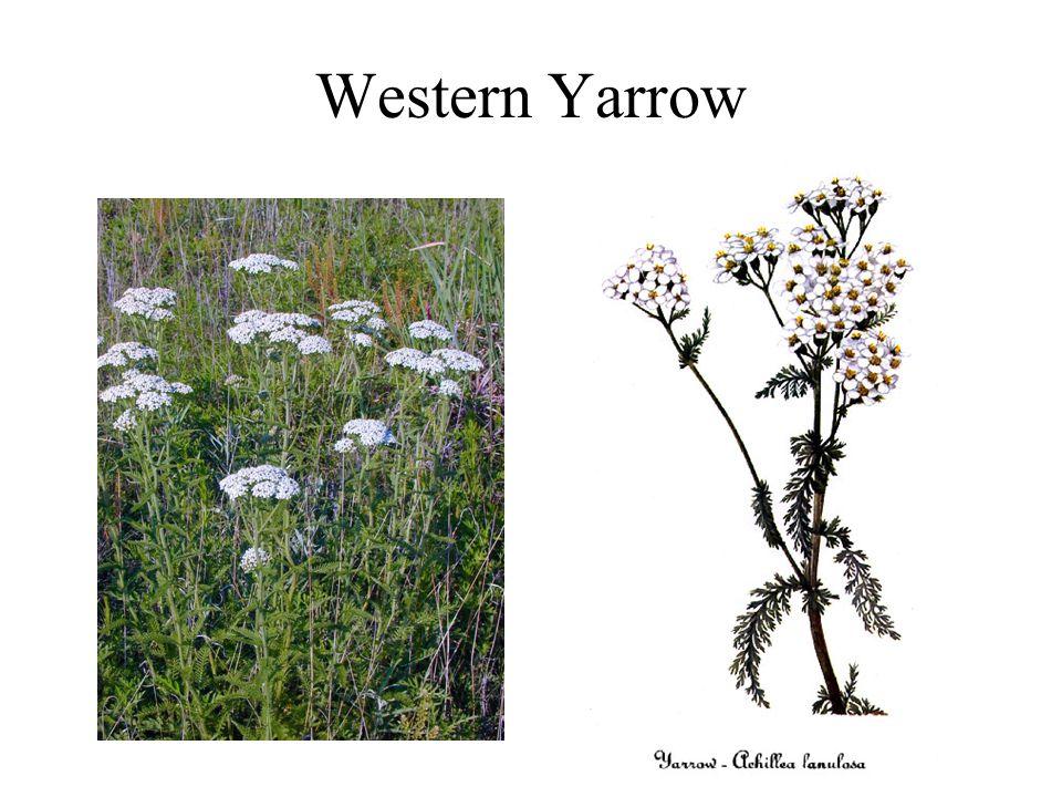 Western Yarrow
