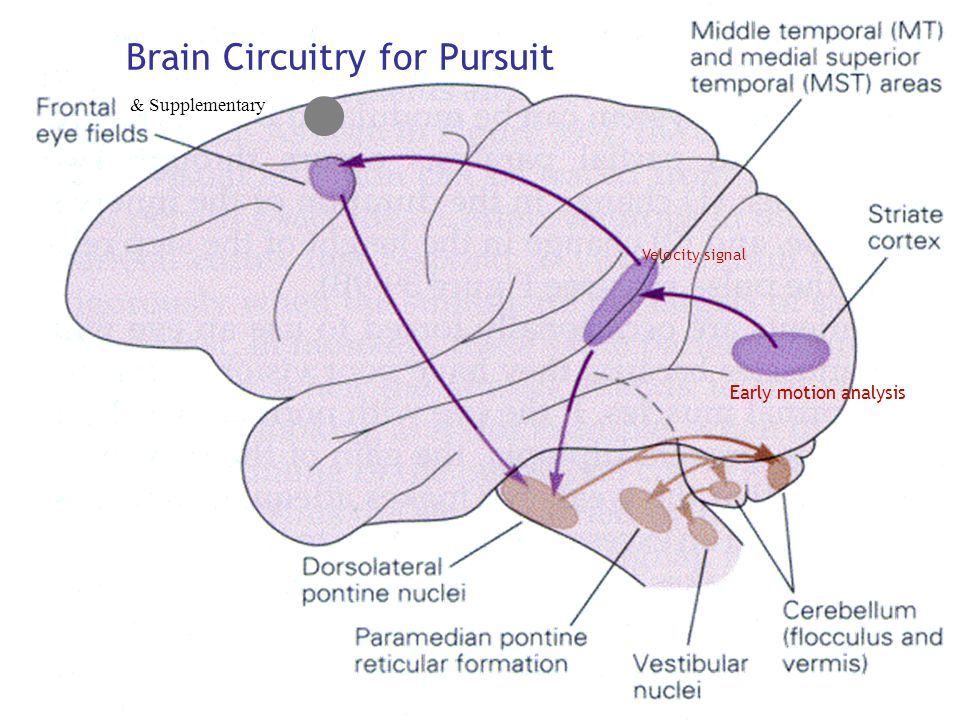 Smooth pursuit & Supplementary Brain Circuitry for Pursuit Velocity signal Early motion analysis