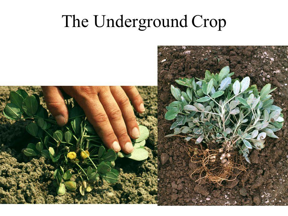 The Underground Crop