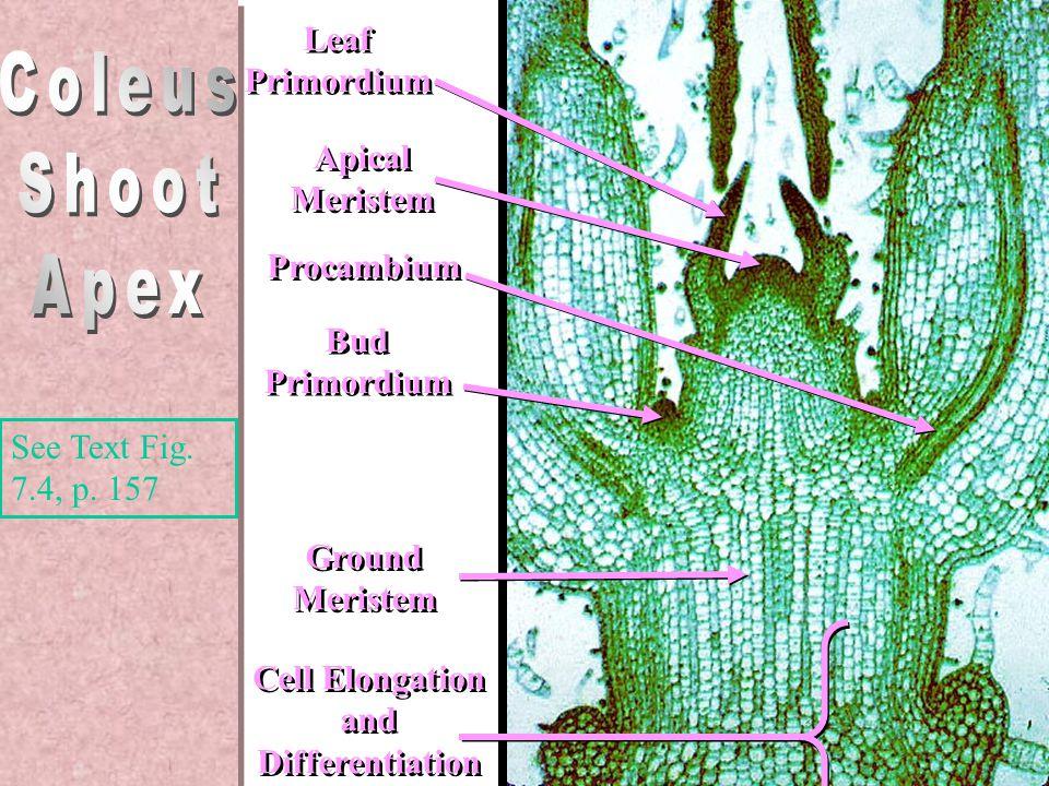 Leaf Primordium Leaf Primordium Procambium Cell Elongation and Differentiation Cell Elongation and Differentiation Bud Primordium Bud Primordium Ground Meristem Ground Meristem Apical Meristem Apical Meristem Coleus stem apex – from side See Text Fig.