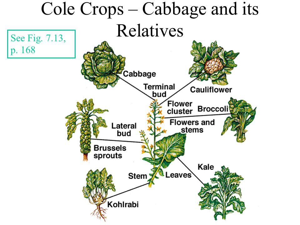 Cole Crops – Cabbage and its Relatives See Fig. 7.13, p. 168