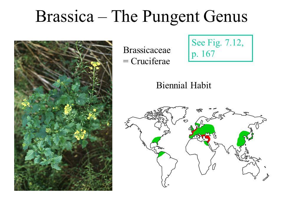 Brassica – The Pungent Genus See Fig. 7.12, p. 167 Biennial Habit Brassicaceae = Cruciferae