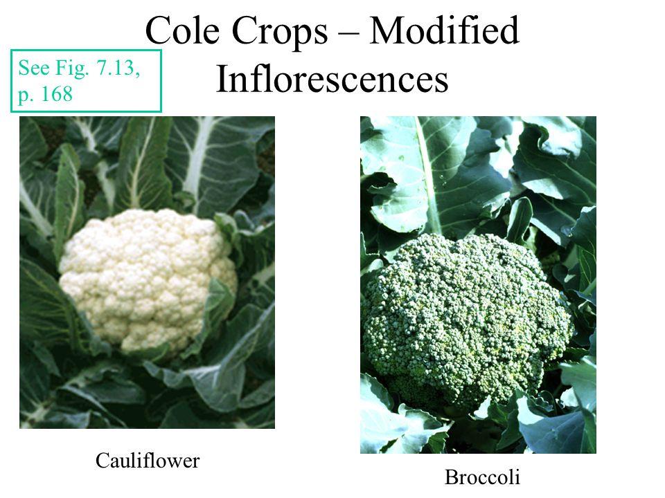 Cole Crops – Modified Inflorescences Cauliflower Broccoli See Fig. 7.13, p. 168