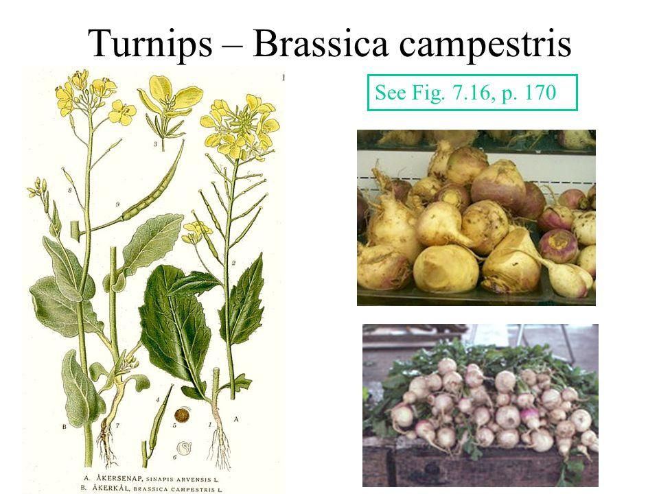 Turnips – Brassica campestris See Fig. 7.16, p. 170