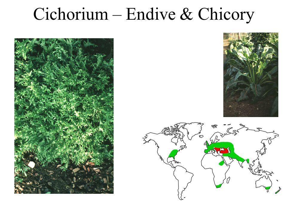 Cichorium – Endive & Chicory