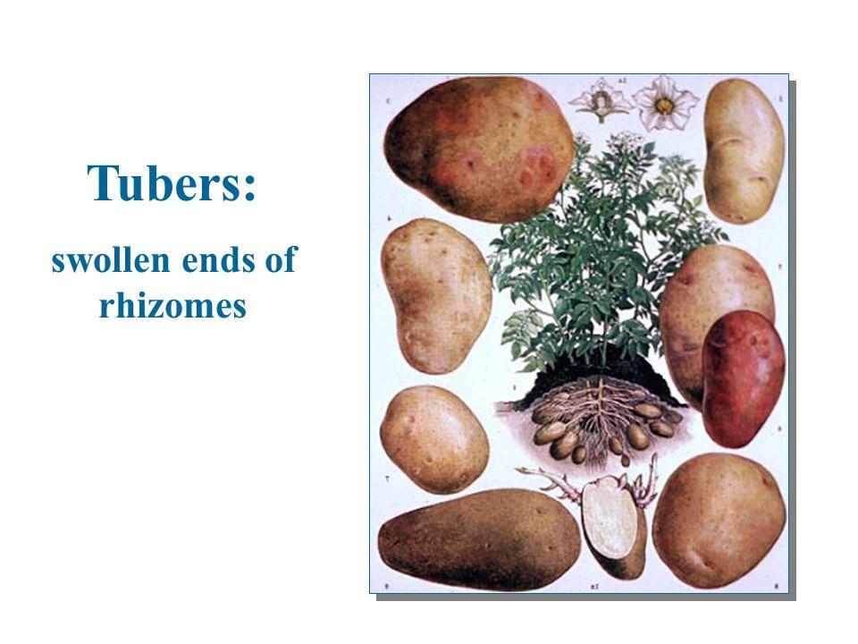 Tubers: swollen ends of rhizomes Tubers