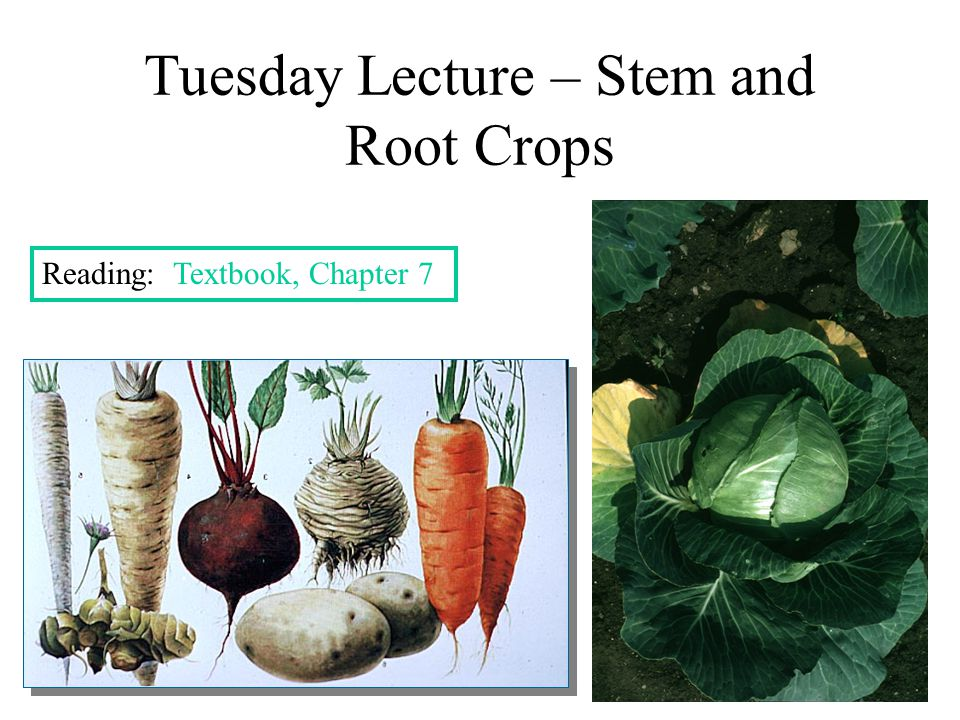 Tuesday Lecture – Stem and Root Crops Reading: Textbook, Chapter 7